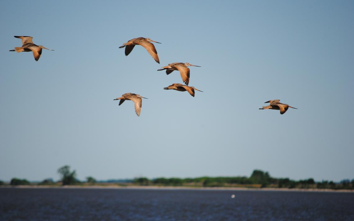 Marbled godwits take flight along the shoreline of Marsh Lake. The shorebirds are among the wildlife benefitted by the restoration project. Tom Cherveny/West Central Tribune